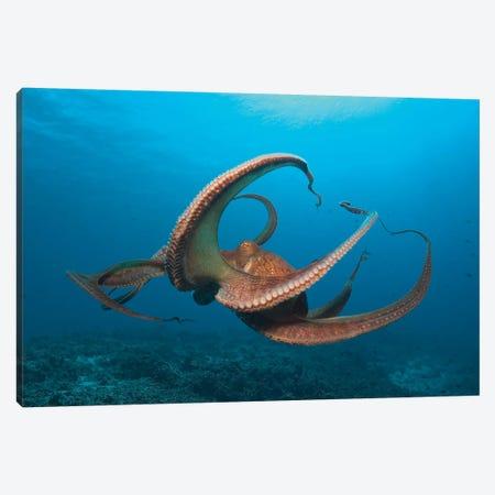 Day Octopus (Octopus cyanea) near Kona, Big Island, Hawaii Canvas Print #SWE39} by Stuart Westmorland Canvas Art Print