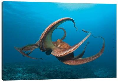 Day Octopus (Octopus cyanea) near Kona, Big Island, Hawaii Canvas Art Print