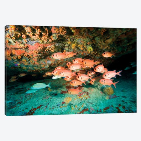 Schooling Soldierfish, Virgin Gorda, Virgin Islands Canvas Print #SWE3} by Stuart Westmorland Canvas Artwork