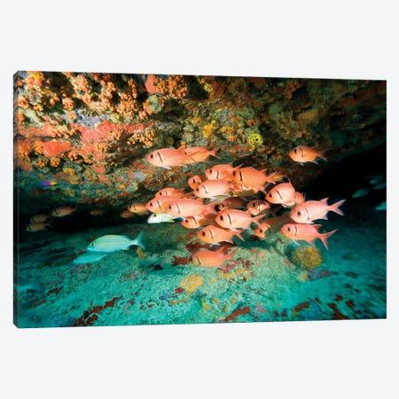 Schooling Soldierfish, Virgin Gorda, Virgin Islands Canvas Print #SWE3} by Stuart Westmorland Canvas Artwork