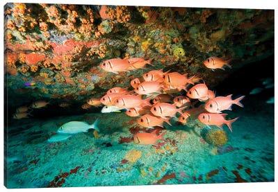Schooling Soldierfish, Virgin Gorda, Virgin Islands Canvas Art Print