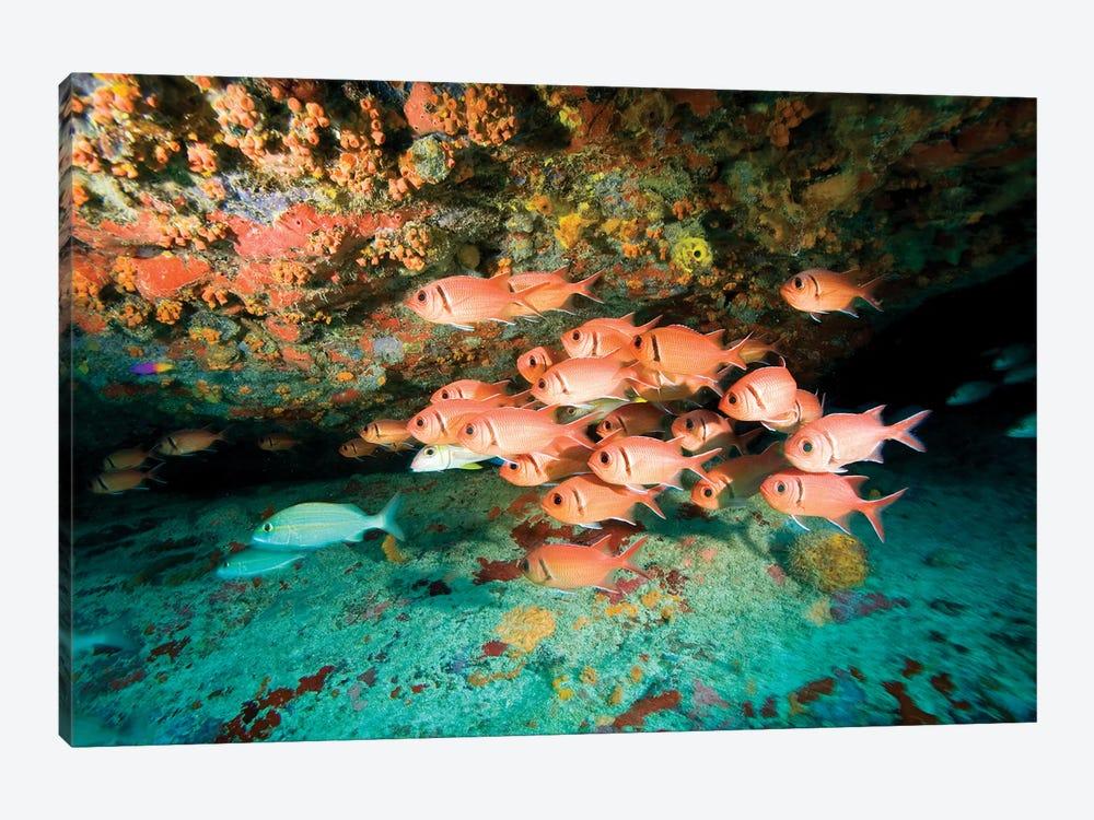Schooling Soldierfish, Virgin Gorda, Virgin Islands by Stuart Westmorland 1-piece Canvas Print