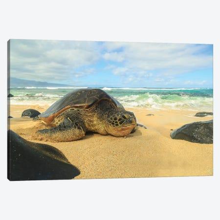 Green Sea Turtle (Chelonia mydas), pulled up on shore, Hookipa Beach Park, Maui, Hawaii, USA Canvas Print #SWE42} by Stuart Westmorland Canvas Artwork