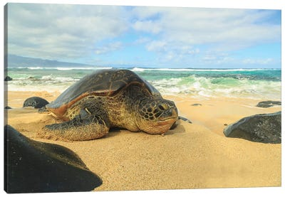 Green Sea Turtle (Chelonia mydas), pulled up on shore, Hookipa Beach Park, Maui, Hawaii, USA Canvas Art Print
