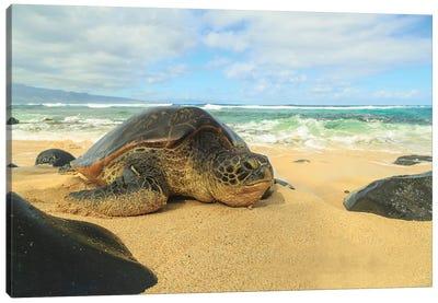 Green Sea Turtle (Chelonia mydas), pulled up on shore, Hookipa Beach Park, Maui, Hawaii, USA Canvas Art Print