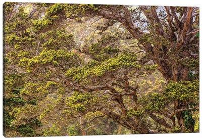 Hakalau Forest National Wildlife Refuge, Big Island, Hawaii Canvas Art Print