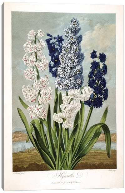Hyacinths Canvas Art Print