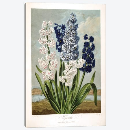 Hyacinths Canvas Print #SYD1} by Sydenham Edwards Canvas Print