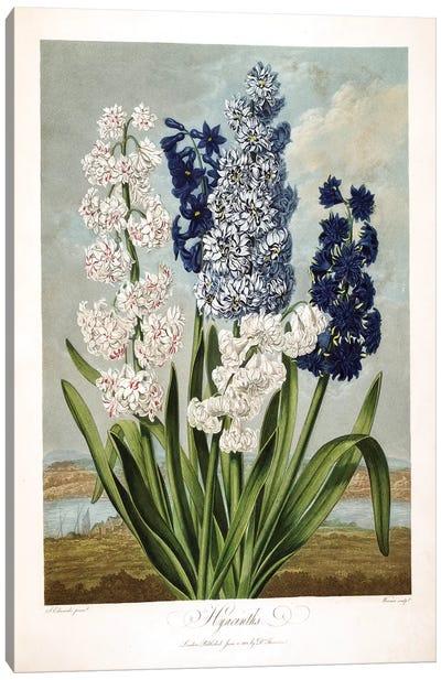 Hyacinths Canvas Art Print
