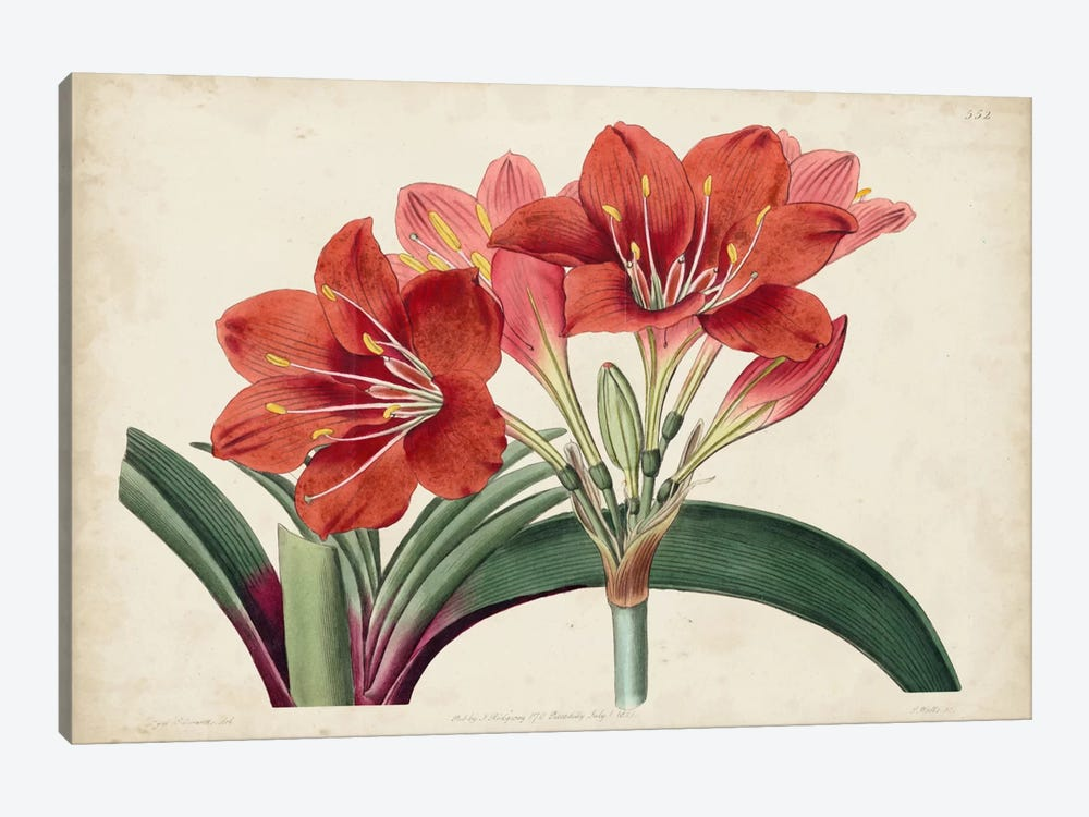 Amaryllis Splendor II by Sydenham Edwards 1-piece Canvas Artwork