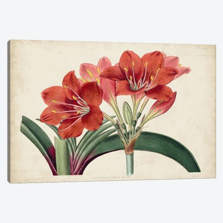 Amaryllis Splendor II Canvas Print #SYD2} by Sydenham Edwards Art Print
