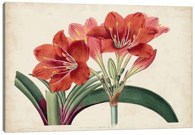 Amaryllis Splendor II Canvas Art Print