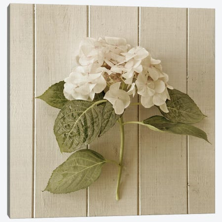 Hydrangea III Canvas Print #SYM30} by Symposium Design Canvas Art