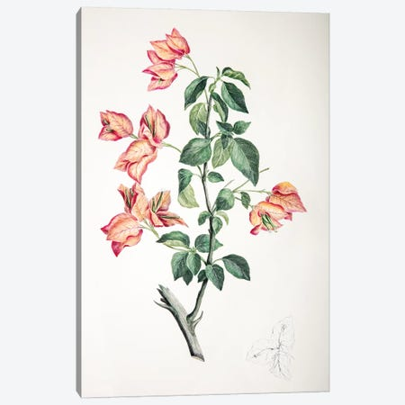 Bouganvillea spectabilis Canvas Print #SYP1} by Sydney Parkinson Canvas Artwork