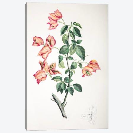 Bouganvillea spectabilis Canvas Print #SYP1} by Sydney Parkinson Canvas Artwork