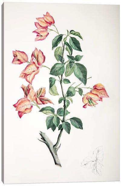 Bouganvillea spectabilis Canvas Art Print
