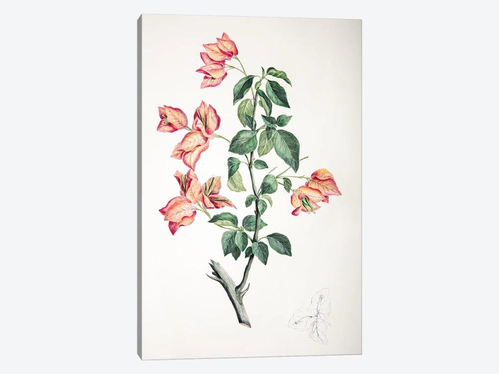Bouganvillea spectabilis by Sydney Parkinson 1-piece Canvas Print