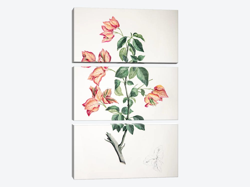 Bouganvillea spectabilis by Sydney Parkinson 3-piece Canvas Art Print