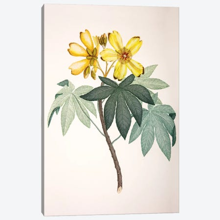 Cochlospermum gillivraei Canvas Print #SYP2} by Sydney Parkinson Canvas Artwork