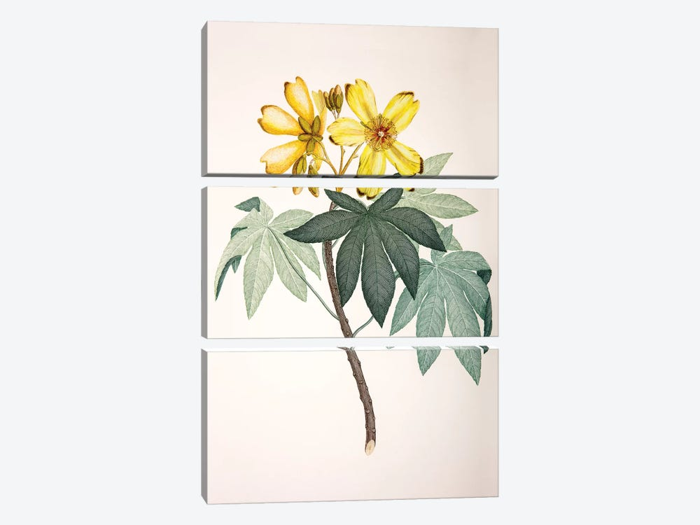 Cochlospermum gillivraei by Sydney Parkinson 3-piece Canvas Wall Art