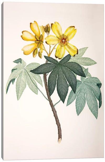 Cochlospermum gillivraei Canvas Art Print