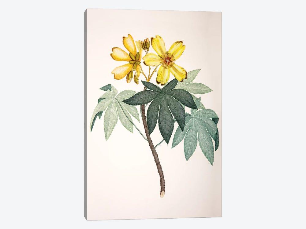 Cochlospermum gillivraei by Sydney Parkinson 1-piece Canvas Wall Art