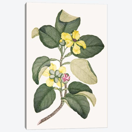 Dillenia alata Canvas Print #SYP3} by Sydney Parkinson Canvas Art