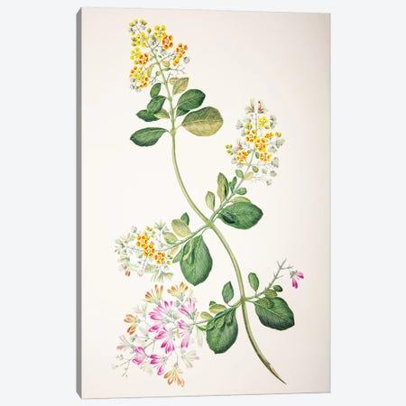 Tetrapterys phlomoides Canvas Print #SYP4} by Sydney Parkinson Canvas Print