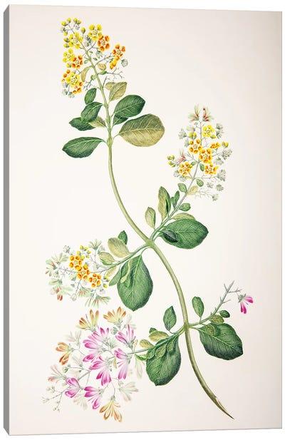 Tetrapterys phlomoides Canvas Art Print