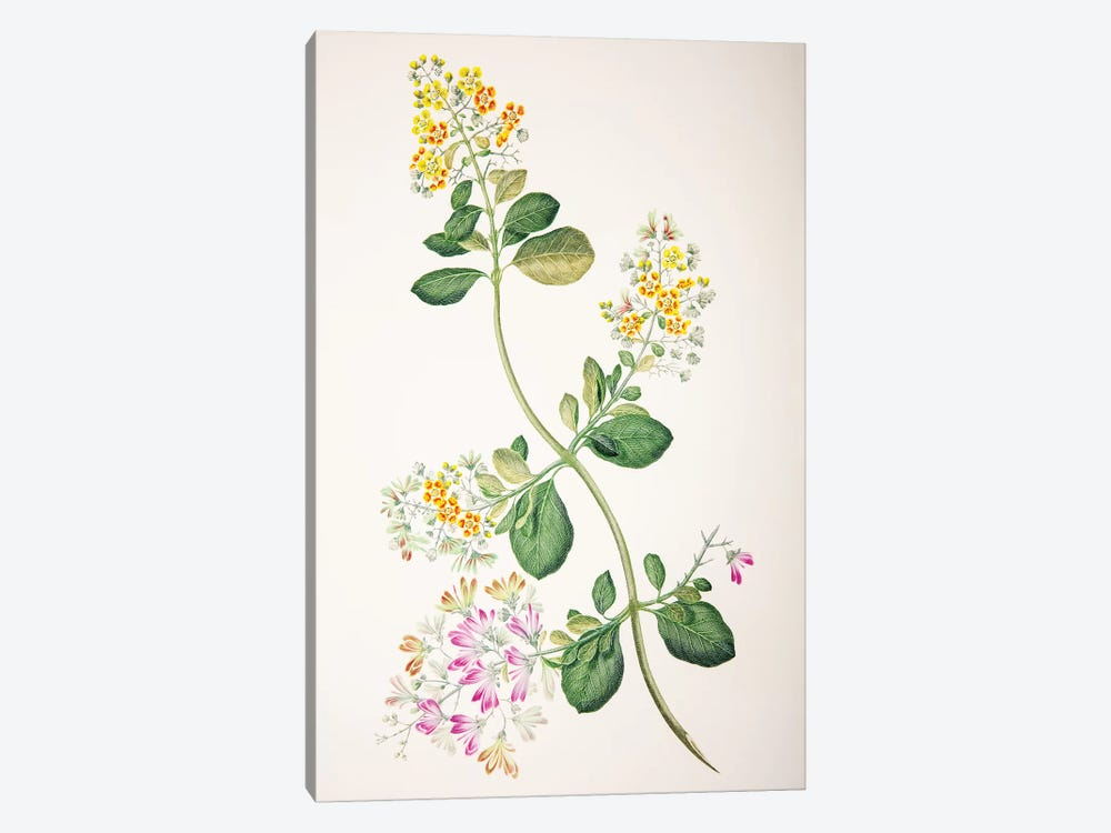 Tetrapterys phlomoides by Sydney Parkinson 1-piece Canvas Wall Art