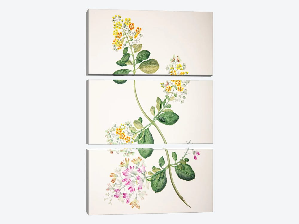Tetrapterys phlomoides by Sydney Parkinson 3-piece Canvas Wall Art
