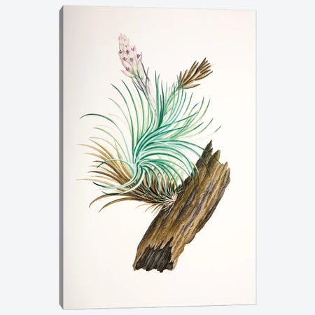 Tillandsia sticta Canvas Print #SYP5} by Sydney Parkinson Canvas Art Print
