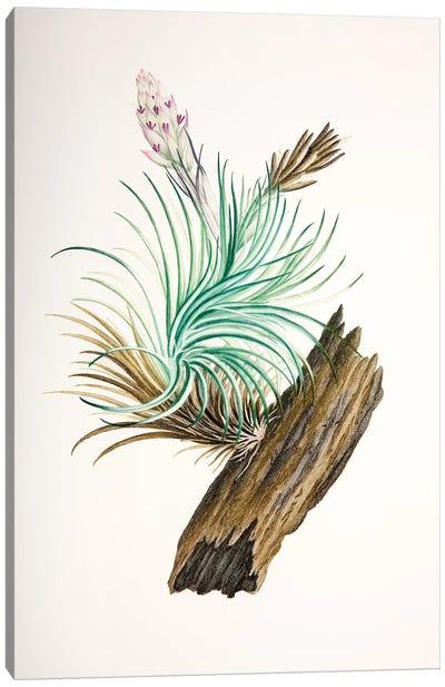 Tillandsia sticta Canvas Art Print
