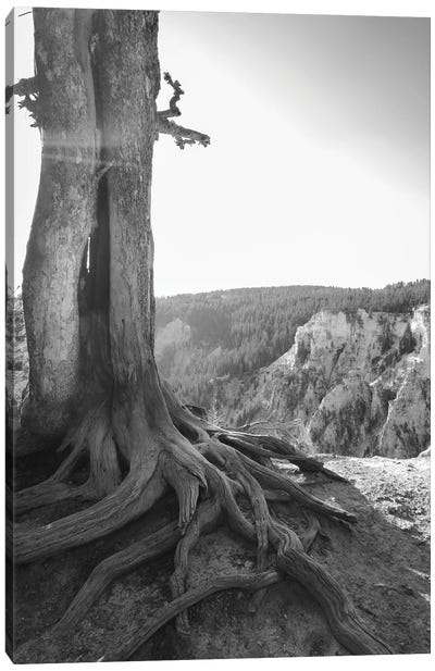 Rooted At Yellowstone In Black And White Canvas Art Print