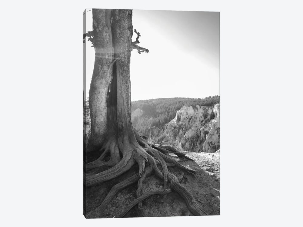 Rooted At Yellowstone In Black And White by Teal Production 1-piece Canvas Art Print