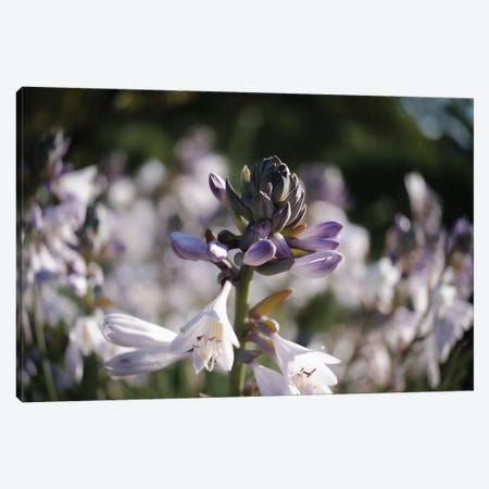 Purple Lily Canvas Print #TEA74} by Teal Production Canvas Art
