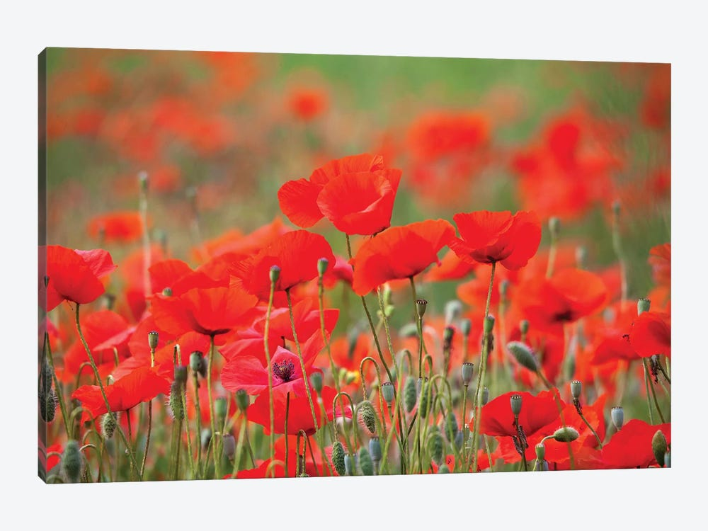 Summer Poppies, Tuscany Region, Italy by Terry Eggers 1-piece Canvas Artwork