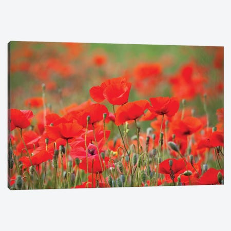 Summer Poppies, Tuscany Region, Italy Canvas Print #TEG2} by Terry Eggers Art Print