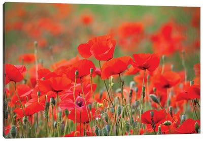 Summer Poppies, Tuscany Region, Italy Canvas Art Print
