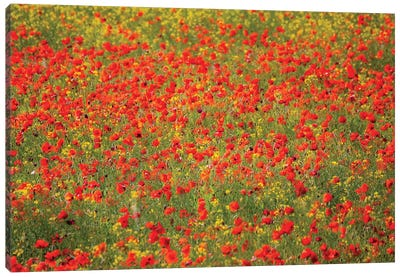 Poppy Field In Full Bloom, Tuscany Region, Italy Canvas Art Print