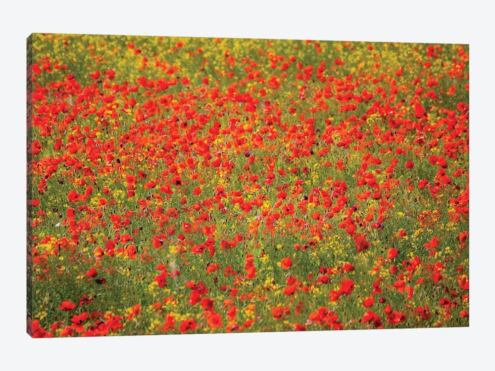 Poppy Field In Full Bloom, Tuscany Region, Italy by Terry Eggers 1-piece Canvas Art