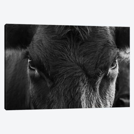 Angus Cow Closeup Canvas Print #TEJ12} by Teri James Canvas Art