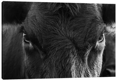 Angus Cow Closeup Canvas Art Print