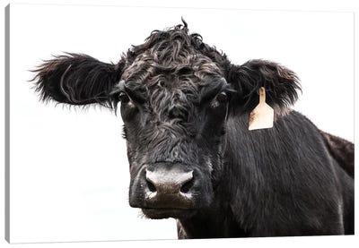 Angus Cow With Ear Tag Canvas Art Print