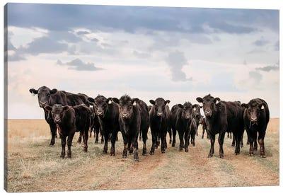 Big Pasture Angus Cows Canvas Art Print