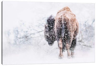 Buffalo In Blizzard Canvas Art Print