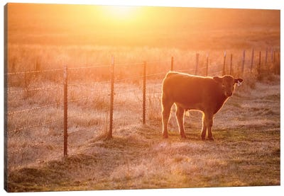 Calf And Fence Canvas Art Print
