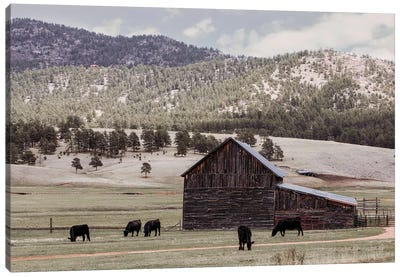 Angus And Old Barn Canvas Art Print