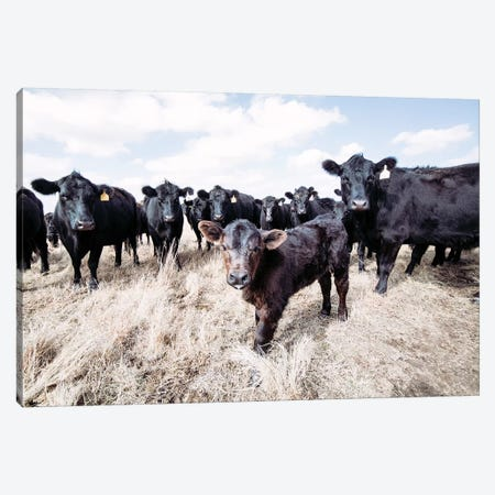 Angus Calf And His Herd Canvas Print #TEJ6} by Teri James Canvas Print