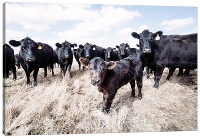 Angus Calf And His Herd Canvas Art Print